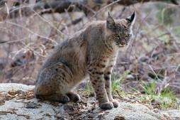 BARRETT HEDGES - Bobcat