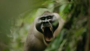 Male drill yawning. Arri frame grab.