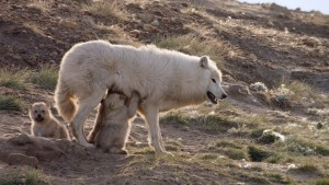 Arctic wolves at the den site. ARRI frame grab.