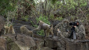 Gulo with Baboons_1