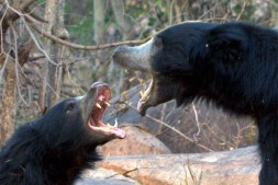 Sloth-Bear-males-playfights