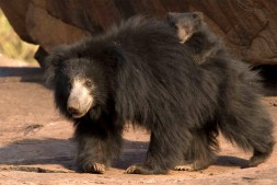 Sloth Bear mother with cub