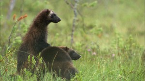 Female wolverines with male cub